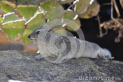 Het leggen van de marmot