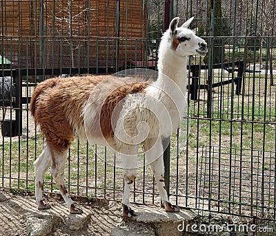 Het lichaam van de lama