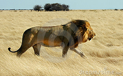 Het lopen van de leeuw