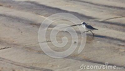 Het Lopen van de strandloper