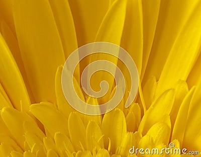 Het MacroDetail van de zonnebloem