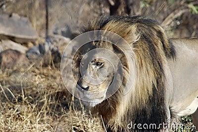 Het mannelijke leeuw besluipen