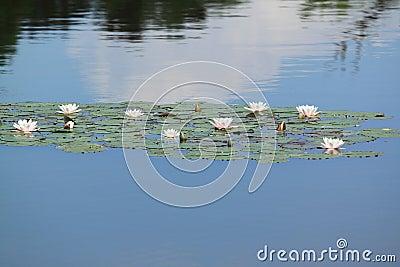 Water-lelie