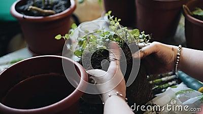 Het meisje scheidt de grond van de wortels van de bloemen Transplantbloemen Gardening stock footage