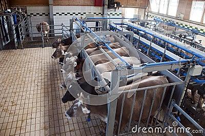 Het melken van koeien