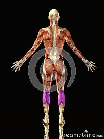 Het menselijke lichaam van het kalf