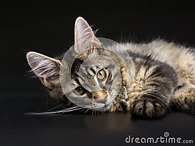 Het mooie zwarte tabby katje van de Wasbeer van Maine op zwarte