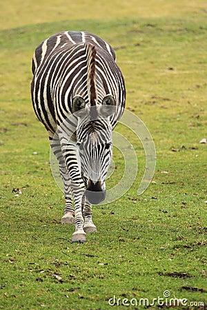 Het naderbij komen de zebra van de toelage