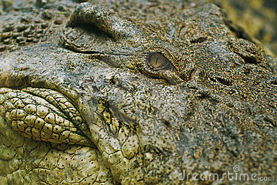 Het oog van de krokodil