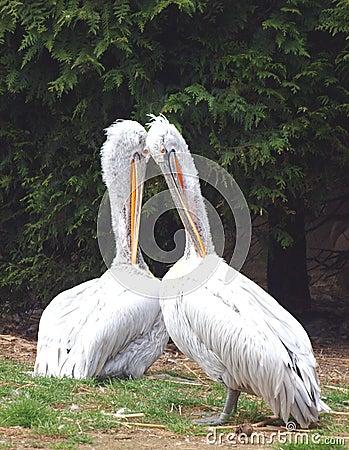Het paar van pelikanen - onocrotalus Pelecanus
