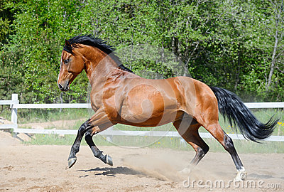 Het paard van de baai van Oekraïens het berijden ras in motie