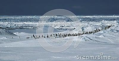 Het panorama van de pinguïn
