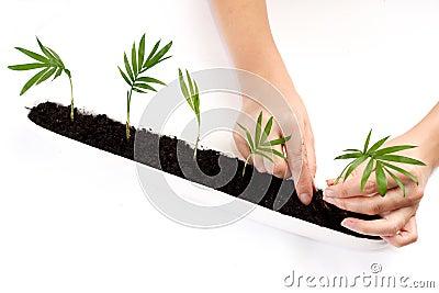 Het planten van palmspruiten