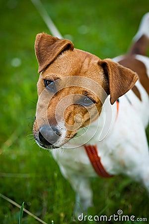 Het portret van de de terriërhond van Jack Russell
