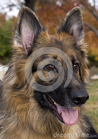 Het Portret van de Duitse herder