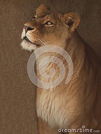 Het portret van de leeuwin