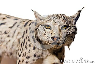 Het portret van de lynx