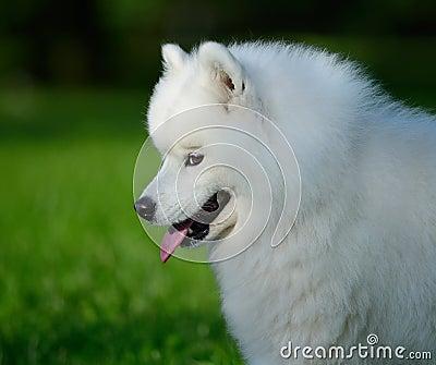 Het portret van samoyed hond