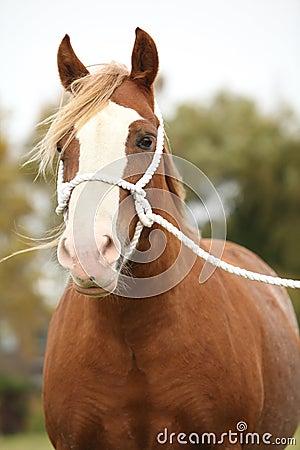 Het portret van Welse poney met witte kabel toont halter