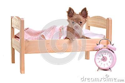 Het puppy dat van chihuahua in een bed met alarm klok ligt royalty vrije stock afbeeldingen - Het creeren van een master suite ...