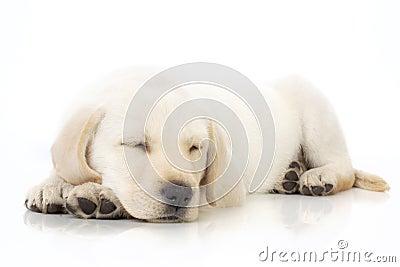 Het puppy van de slaap