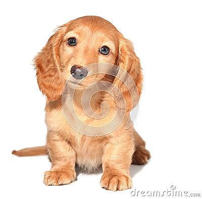 Het puppy van de tekkel