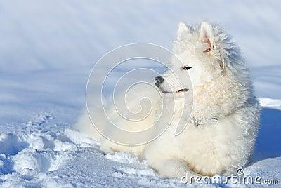 Het puppy van Samoyed