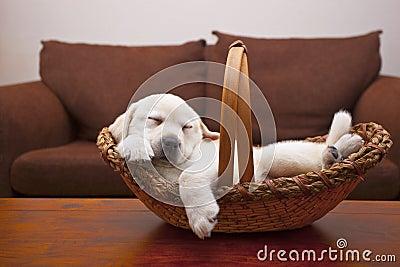 Het Puppy van Tuckered