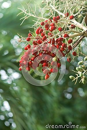 Het rode fruit van de datumboom