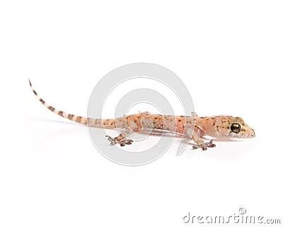 Het sluimeren van de gekko