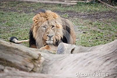 Het sluimeren van leeuw