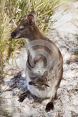 Het Tasmaanse Wild
