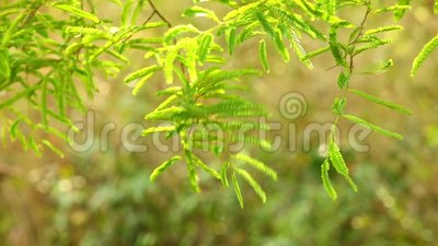 Het trillende Groene Gebladerte van de Tamarindeboom stock video