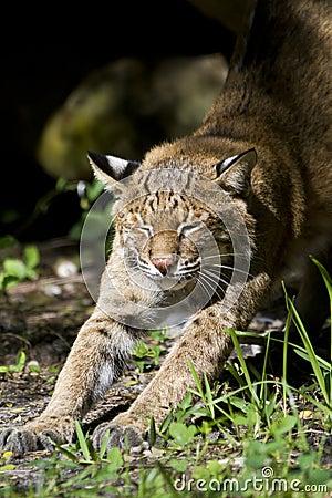 Het uitrekken zich van Bobcat