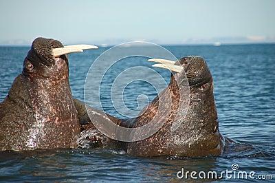 Het vechten walrussen