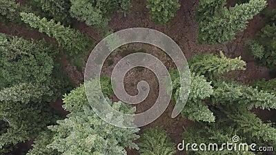 Het vliegen over een enorme weelderige groene pijnboom en nette boombovenkanten in het bossatellietbeeld stock video