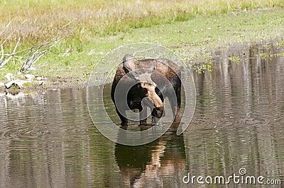 Het voeden van de Amerikaanse elanden van de koe