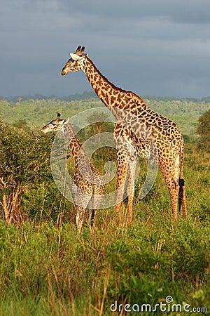 Het Voeden van de Familie van de giraf Tijd