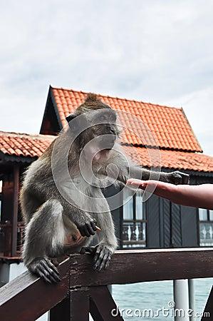 Het voeden van een aap