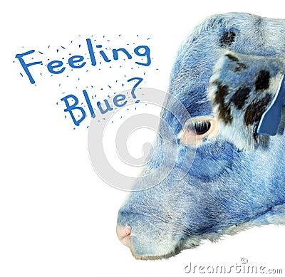 Het voelen van blauw kalf