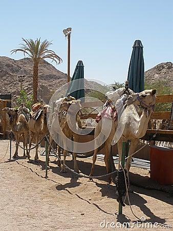 Het voorbereidingen treffen voor kameelsafari