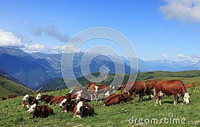 Het weiden van koeien