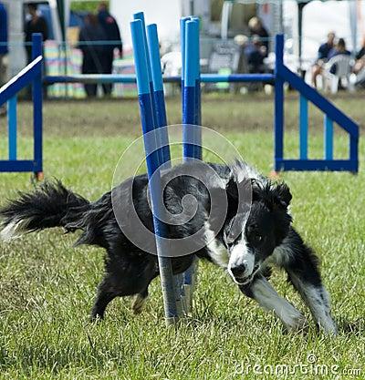 Het weven van de hond door hindernis