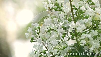 Het wit omfloerst Myrtle Flowers Bloom op Mooie Dag, 4K stock video