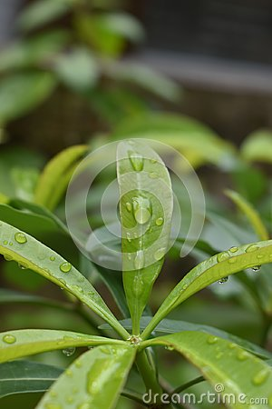 Free Hexagon Water Rain Drop In The Green Leaves Bud Area Stock Images - 120052394