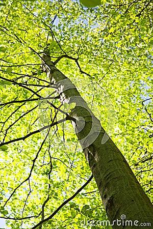 Högväxt tree