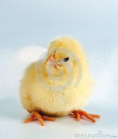 Hi chick!