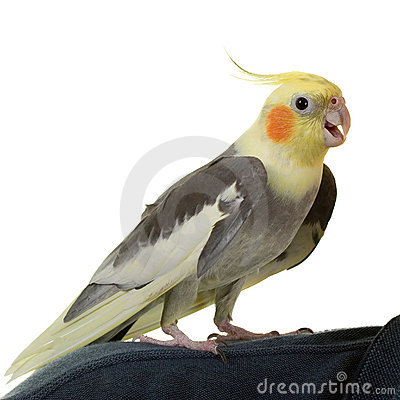 Free Hi From Cockatiel Royalty Free Stock Photo - 1099575