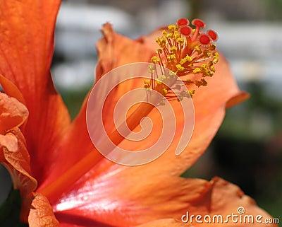 Hibisco anaranjado