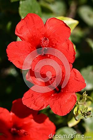 Free Hibiscus Stock Image - 598721